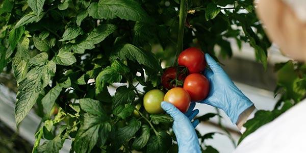 une scientifique inspecte des tomates