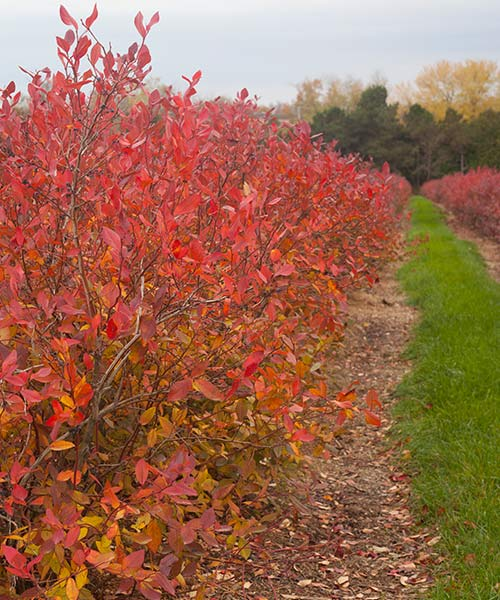 Blueberry bush in the fall.