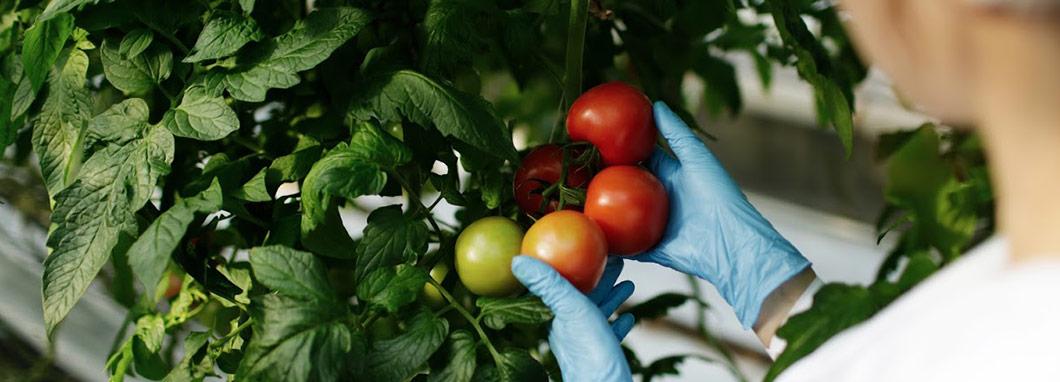 une scientifique examine des tomates
