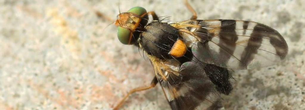 european cherry fruit fly