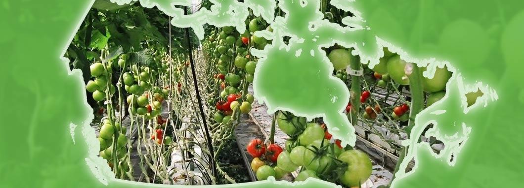 Tomates en serre derière une carte du Canada