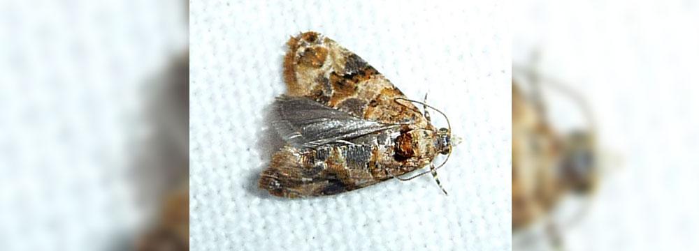 European Grapevine moth. Photo: Wikipedia