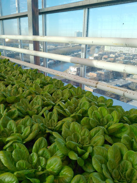 Lettuce production at Urban Farm in Rotterdam, the Netherlands. Photo: R. Lee