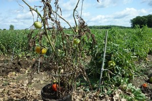 A diseased untreated tomato plant stands out against a backdrop of healthy treated plants. Photo: D. Folkerson (CHC)