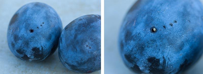 maggot damage in plum